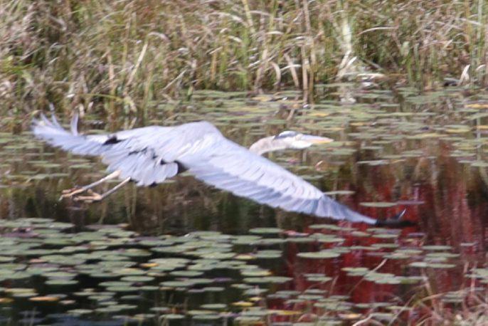 Heads Pond -Hooksett NH - Great Blue Heron 09212019 2